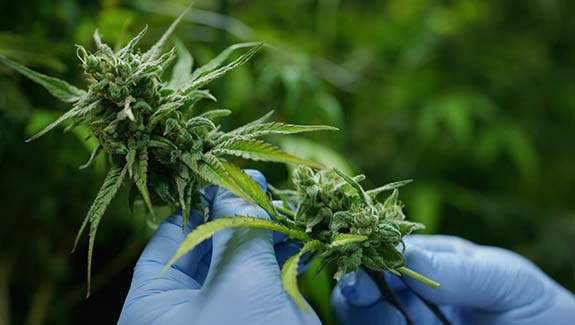 close up of a cannabis plant held in hands wearing blue gloves